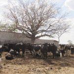 "Workshop pretende orientar produtores sobre manejo de ""vaca seca"" em Quixeramobim"